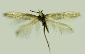 Russia, South Ural, Pokrovka vill., 20 km S . Shibendy val., 3. - 4. 7. 2013, leg. & coll. Srnka, det. Tabell., wingspan 13 mm