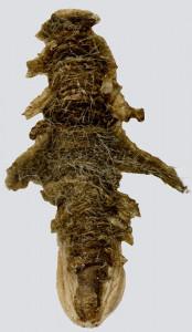 26018, coleophora ,ochripennella, puzdierko – kópia