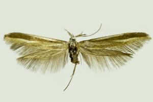 Russia, Kabardno-Balkaria, C. Caucasus Mts., Terscol, 27. - 29. 8. 2013, leg. & coll. Srnka, det. Budashkin, wingspan 22 mm