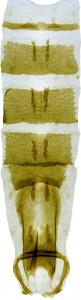 21 - 2850  Coleophora clarissa abd.