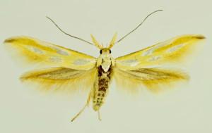 Macedonia, Negotino, 20. 6. 1997, ex l., Onobrychis sp., leg., cult. & coll. Laštuvka A., det. Tabell, wingspan 19 mm