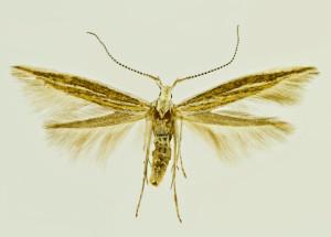 Greece, Korinthia, Ag. Vassilio, 17. 6. 1998, leg. & coll. Laštuvka A., det. Tabell, wingspan 12,5 mm
