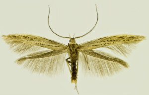 Russia, South Ural, 15. - 18. 7. 2011, leg. & coll. Šumpich, det. Budashkin, wingspan 16 mm