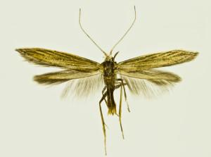 Russia, South Ural, Moskovo, 15. - 18. 7. 2011, leg. & coll. Šumpich, det. Budashkin, wingspan 17 mm - bona specie (Budashkin)