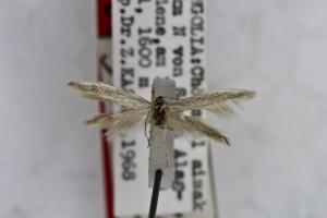 HOLOTYPUS, coll. TTMB, wingspan 13 mm