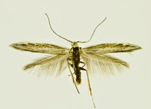 Russia, South Ural, Moskovo, 15. - 18. 6. 2011, leg. & coll. Šumpich, det. Budashkin, wingspan 13 mm