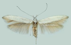 Spain, wingspan 19 mm