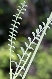 Hedysarum macedonicum