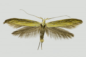 Macedonia, NP Mavrovo, Radika river valley, 22. 7. 2015, leg., det. & coll. Richter Ig., wingspan 28 mm