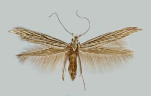 Spain, Sierra de Yedra, El Molinillo, 28. 6. 1992, leg. & coll. Laštuvka A., det. richter Ig., wingspan 15 mm