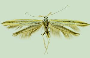 Russia, Altai rep., Kosh - Agah distr., 6,5 km SW of Kurai vill., 9. - 10. 7. 2014, leg. Dvořák, det. & coll. Richter Ig., wingspan 23 mm