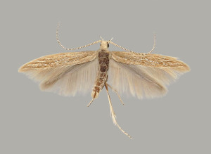female, wingspan  mm, Photo: Budashkin