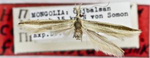HOLOTYPUS, coll. TTMB, wingspan 18 mm