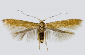 Spain, León, San Cristóbal de Valdueza, 20. 6. 2017, leg. & coll. Laštuvka A., det. Richter Ig., wingspan 15 mm