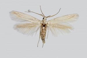 coll. TTMB, wingspan 17 mm