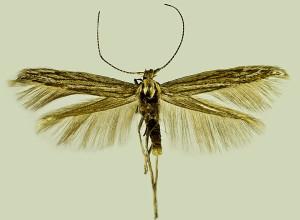 Turkey, Sereflikohisar, 4. 5. 2001, leg. Dvořák, coll. Šumpich, wingspan 11,5 mm