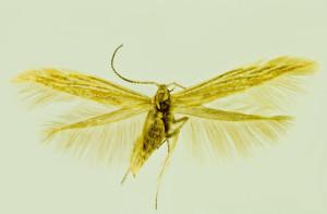 Spain Cehegín, 2. 7. 1992, leg. & coll. Laštuvka A., det. Richter Ig., wingspan 12 mm