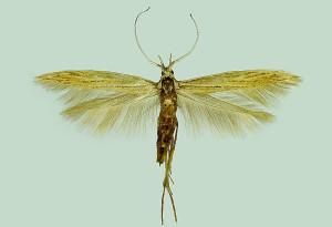 Croatia, Pag, Novalja-Potočnica, 2. - 6. 9. 2001, leg. & coll. Šumpich, wingspan 16 mm