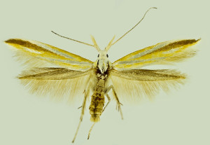 Italy, Brescia, Gavardo, 9. 7. 1992, leg. & coll. Laštuvka A., wingspan 16 mm