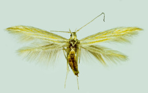 Spain, Andalusia, Jimera de Libar, 28. 6. 1994, leg. & coll. Laštuvka A., wingspan 15 mm