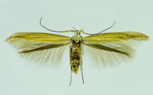 Spain, Huesca, Boltaňa, 9. 6. 2014, leg. & coll. Laštuvka A., wingspan 13 mm