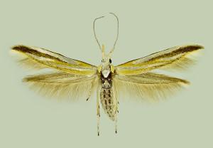 Spain, Jarafuel (Cofrentes), 7. 1991, ex l., Leguminaceae, leg., cult. & coll. Laštuvka A., wingspan 13 mm