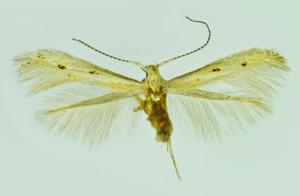 Spain, Jerafuel (Cofran), 3. 7. 1992, leg. & coll. Laštuvka A., wingspan 8 mm