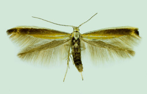 Coleophora sp., Spain, León, La Mata de Curueňo, 20. 6. 2014, leg. & coll. Laštuvka A., wingspan 16 mm