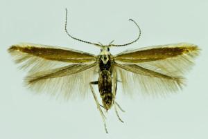 Spain, León, Páramo de Sil, 19. 6. 2014, leg. & coll. Laštuvka A., wingspan 15 mm