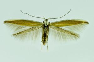 Spain, Parámo de Sil, 19. 6. 2014, leg. & coll. Laštuvka A., wingspan 16 mm