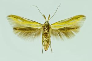 Spain, Vivel del Rio, 7. 1994, ex l., leg., cult & coll. Laštuvka A., wingspan 20 mm