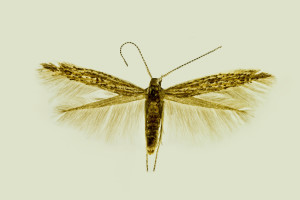 Spain mer., Dietma, 1. 7. 1992, leg. & coll. Laštuvka A., wingspan 10,5 mm