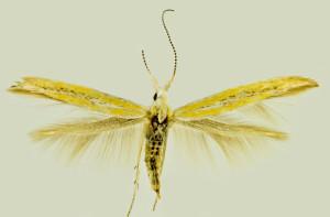 Spain mer., Diezma, 1. 7. 1992, leg. & coll. Laštuvka A., wingspan 13 mm