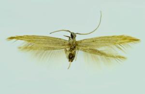 Russia, South Ural, Donskoe, 25. - 29. 6. 2009, leg. & coll. Srnka, wingspan  mm, Holotypus