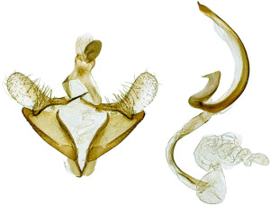 Russia, South Ural, Cheliabinska obl., Moskovo, 6. - 7. 7. 2013, leg. & coll. Srnka, GP 21891 IgR, Holotypus