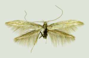 Russia, South Ural, Cheliabinska obl., Moskovo, 6. - 7. 7. 2013, leg. & coll. Srnka, wingspan 12 mm, Holotypus