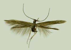 Russia, Caucasus, Kabardino - Balkaria, Terscol, 29. 8. 2013, leg. & coll. Srnka, wingspan 14 mm