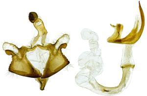 Russia, South Ural, Pokrovka, 3. - 4. 7. 2013, leg. & coll. Srnka, GP 21937 IgR, Holotypus