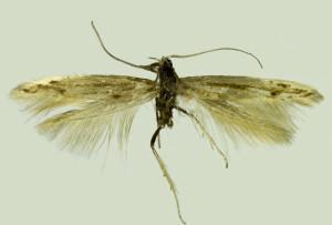 Russia, South Ural, Pokrovka, 3. - 4. 7. 2013, leg. & coll. Srtnka, wingspan 13 mm, Holotypus