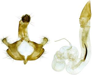 Macedonia, Prilep, 8. 9. 2014, ex l., Astragalus onobrychis, leg., det., cult & coll. Richter Ig., GP 22247 IgR