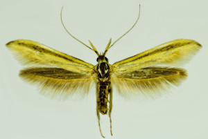 Macedonia, Prilep, 8. 9. 2014, ex l. Astragalus onobrychis, leg., cult., det. & coll. Richter Ig, wingspan mm