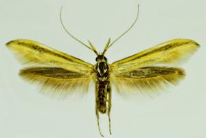 Macedonia, Prilep, 8. 9. 2014, ex l. Astragalus onobrychis, leg., cult., det. & coll. Richter Ig, wingspan mm