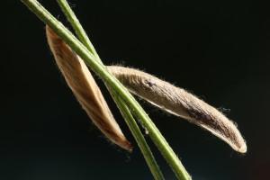 Macedonia, Prilep, jún 2014, ex Astragalus onobrychis