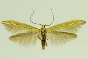 Saorge env., Vall de Cayros, 16.-19. 5. 2004, leg. & coll. Šumpich, wingspan 15 mm