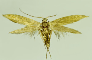 Georgia, Kakheti reg., Dedoplisiskovo, 26. 7. 2014, leg, & coll. Zlatkov, wingspan 17 mm