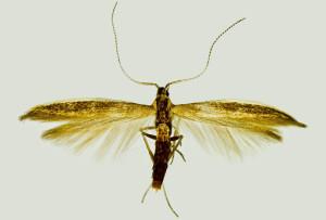 Spain, Almeria, Tabernas, Aghuilla Salada env., 420 m, 2. - 3. 5. 2008, leg. & coll. Šumpich, det. Richter Ig., wingspan 14 mm