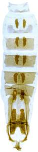 1-  2810 Coleophora monoceros, abd. – kópia