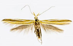 Russia, Altai rep., Usť-Kan, 2014, leg. & coll. Šumpich, det. Richter Ig., wingspan mm