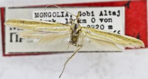 HOLOTYPUS, coll. TTMB, wingspan 21 mm