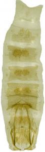 11 - 3859 Coleophora artra